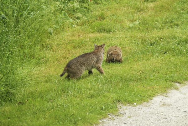 What Happens When A Young Bobcat Meets A Woodchuck
