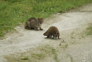 Bobcat meets a Woodchuck