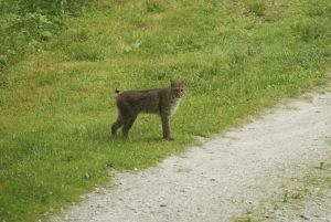 Leaving the bobcat alone