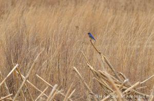 A hunting bluebird
