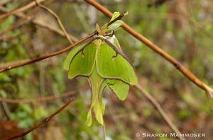 Luna Moths Mating