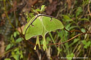 Luna Moths!