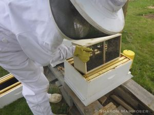 Dumping the new bees in their hive