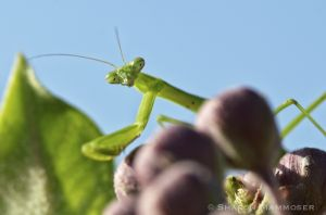 Watched by a praying mantis