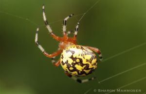 Have you ever seen this spider?