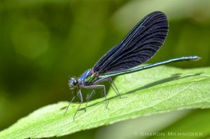 An iridescent damselfly