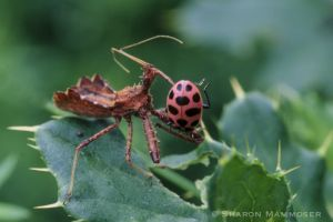This ladybug is lunch for this assassin bug.