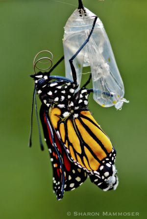 A monarch emerges