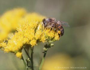 A honeybee collecting pollen