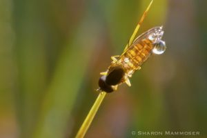Fly with dew