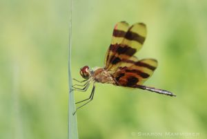 A dragonfly at rest