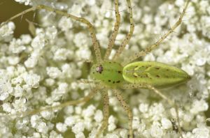 Can you guess why it's called a lynx spider?