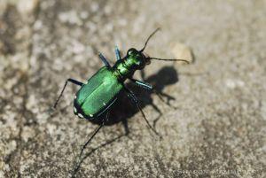 A tiger beetle runs FAST!