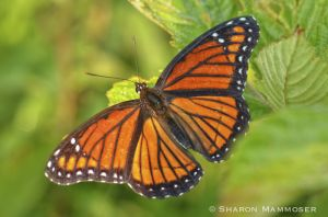 A viceroy butterfly