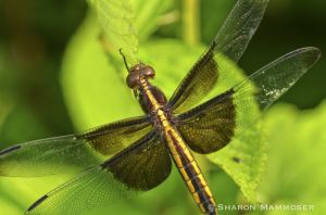 A female widow skimmer dragonfly