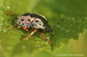 A shieldback bug