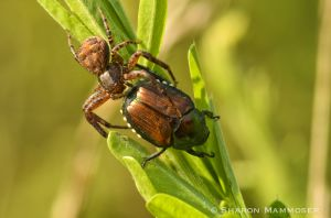Japanese beetle becomes breakfast