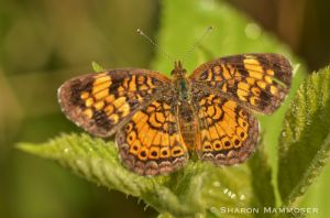 A pearl crescent soaks up some rays