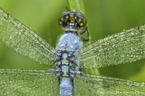 A male eastern pond hawk dragonfly