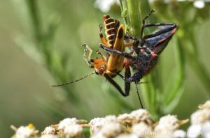 This assassin bug feeds on a beetle