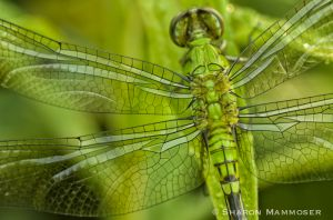 A female eastern pond hawk dragonfly