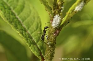 An ant tends some aphids