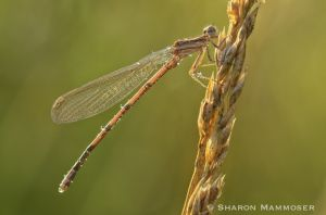 Lovely damselfly