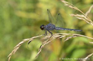 A Slaty skimmer dragonfly