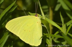 A Cloudless Sulfur butterfly