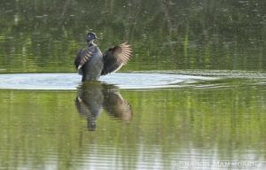 An immature wood duck