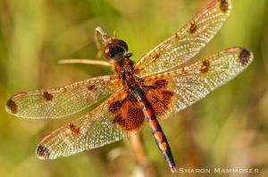 A Calico Pennant dragonfly