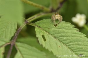 My favorite kind of spider! A jumping spider.