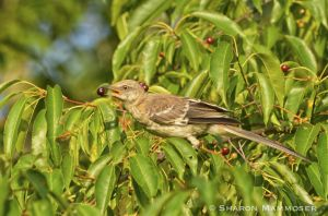 A mockingbird finds a berry