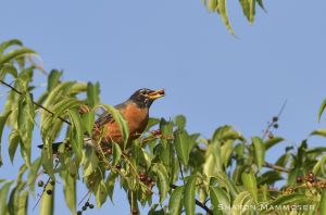 A robin finds a berry too!