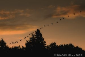 Canada geese are on the move