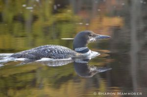 A Common Loon