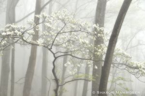 Dogwood in the Forest
