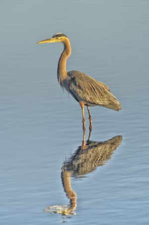 Reflected Heron