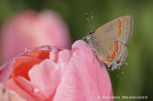 Hairstreak on tulip