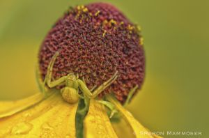 Here, a crab spider waits on a flower