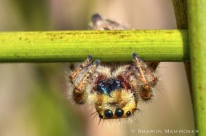 Jumping spiders have fabulous vision!