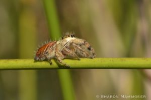 A jumping spider is tiny!