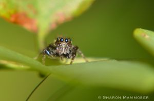 Jumping spiders seem very curious about me