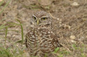 burrowing owl-8203.jpg