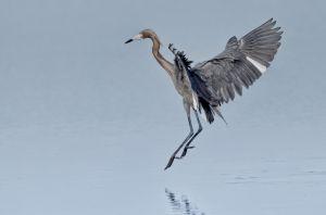 egret-.jpg