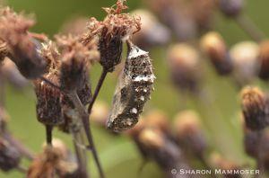 A buckeye chrysalis in NY ironweed