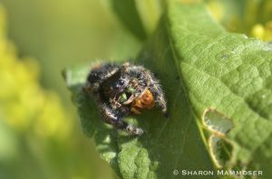 A jumping spider with prey
