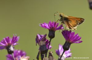 Another skipper!