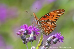 A most beautiful gulf fritillary