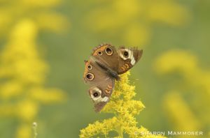 A buckeye on goldenrod